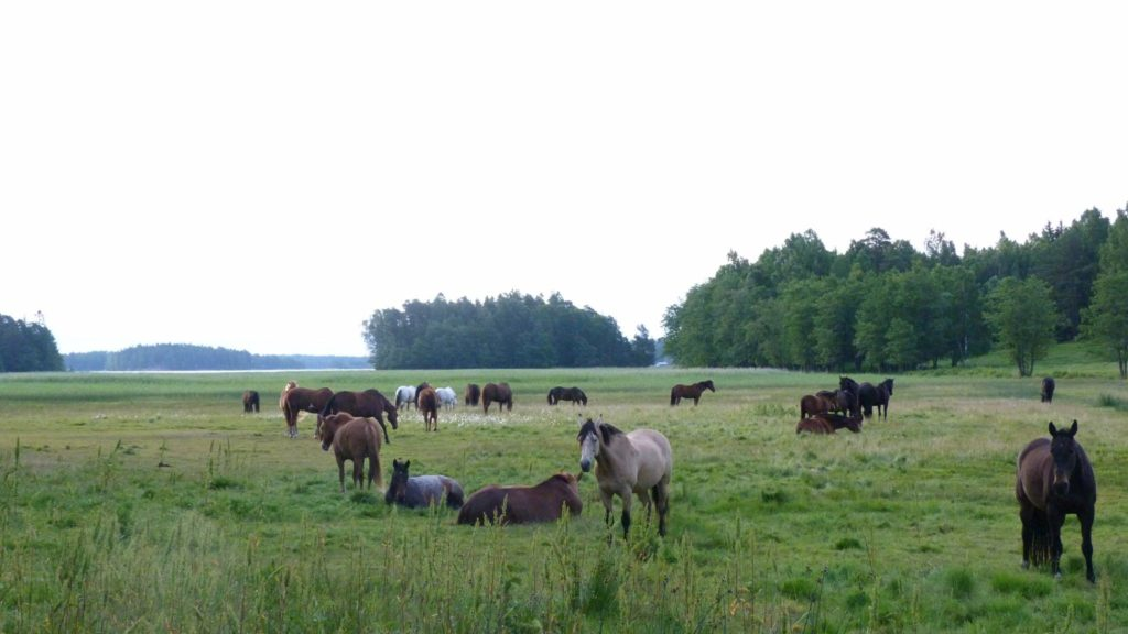 Hevoset isolla laitumella